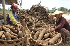 Bearbeta för kassava Arkivfoton