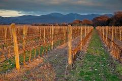Bearbeta och omsorg av vingårdarna arkivfoton
