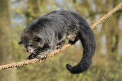 Bearcat Stockbilder