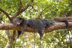 Bearcat Στοκ εικόνες με δικαίωμα ελεύθερης χρήσης