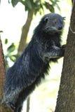 Bearcat, Arctictis Binturong, Sarawak Στοκ φωτογραφία με δικαίωμα ελεύθερης χρήσης