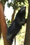 Bearcat, Arctictis Binturong, Sarawak Στοκ Εικόνες
