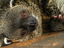Bearcat assoupi images libres de droits