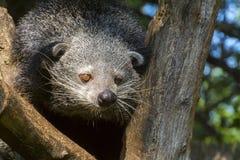 Bearcat Binturong Στοκ Εικόνες