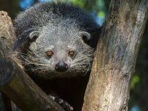 Bearcat Binturong Στοκ φωτογραφίες με δικαίωμα ελεύθερης χρήσης