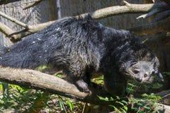 Bearcat Binturong Στοκ Εικόνα