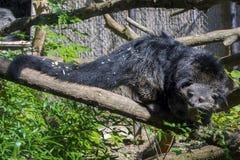 Bearcat Binturong Στοκ Φωτογραφία
