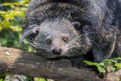 Bearcat Binturong Στοκ εικόνες με δικαίωμα ελεύθερης χρήσης