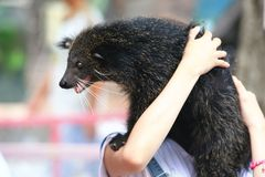Bearcat or Binturong Royalty Free Stock Photos