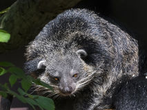 Bearcat of Binturong Royalty Free Stock Photography