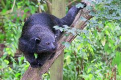 Bearcat. / Binturong walking on a branch facing the camera Stock Photos