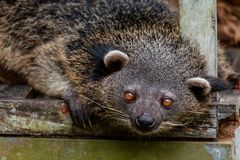 Bearcat de Binturong ou de philipino regardant curieusement, Palawan, Phili Photo libre de droits