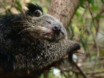 Bearcat de sommeil Photos libres de droits