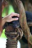 Bearcat in human hand Stock Photo
