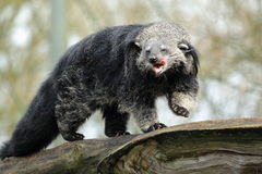Bearcat Stock Image