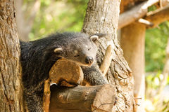 Bearcat sleeping on a tree Royalty Free Stock Photography