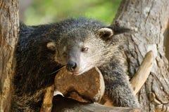 Bearcat sleeping on a tree Stock Photos