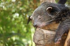 Bearcat sleeping on a tree Royalty Free Stock Photos