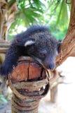 Bearcat Royalty Free Stock Image