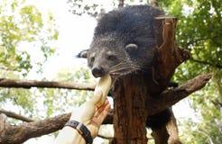 Bearcat on a tree Stock Photo