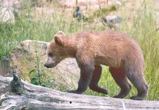 Bearcub Стоковые Фото
