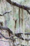 Beard lichen Alectoria Stock Image