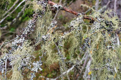 Beard lichen Stock Photo