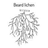 Beard lichen Usnea barbata , or tree moss Stock Photos