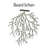 Beard lichen Usnea barbata , or tree moss Royalty Free Stock Image