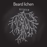 Beard lichen Usnea barbata , or tree moss Stock Images