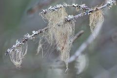Beard moss or Usnea filipendula on a branch Royalty Free Stock Image
