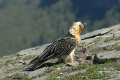 Bearded adult. With food in the Aragonese Pyrenees in Spain Royalty Free Stock Photography