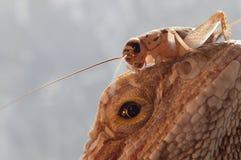 Bearded Agama and cricket. Macro. Stock Photo