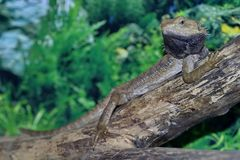 Bearded Agama Lat. Pogona vitticeps on the tree. Closeup. Got its name because of the characteristic neck bag royalty free stock image