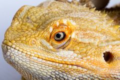 Bearded agama lizard Royalty Free Stock Image
