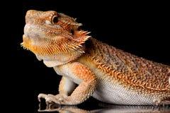 Bearded Agama lizard stock photography