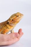 Bearded Agama lizard on hand Stock Photos