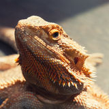 Bearded agama lizard Royalty Free Stock Photos