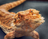 Bearded agama lizard watching face to face Royalty Free Stock Photo