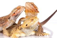Bearded Agama lizards Royalty Free Stock Photos