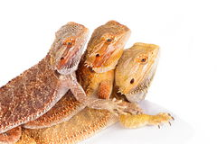 Bearded Agama Lizards Royalty Free Stock Image