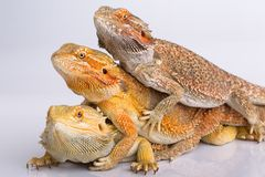 Bearded agama lizards