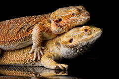 Bearded agama lizards Stock Photos