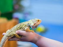 Bearded Agama sits on the buyer`s hand at the pet store. The sel stock photo