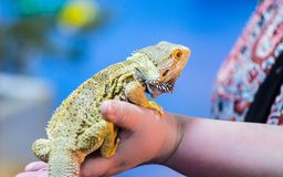 Bearded Agama sits on the buyer`s hand at the pet store. The sel royalty free stock image