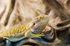 Bearded Agama sits on a tree in a pet store. Bearded Agama si. Bearded Agama sits on a tree in a pet store. Terrarium royalty free stock photography