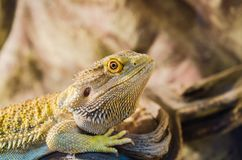 Bearded Agama sits on a tree in a pet store. Terrarium royalty free stock photo