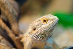Bearded Agama sits on a tree in a pet store close-up. Terrarium royalty free stock images