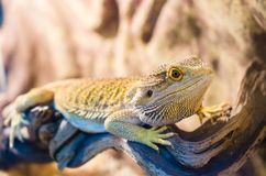 Bearded Agama sits on a tree in a pet store. Terrarium stock photos