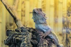 Bearded Agama sits on a wooden branch in terrarium. Face of bearded dragon lizard royalty free stock photos